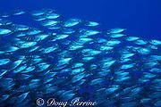 schooling bigeye scad or akule, <br /> Selar crumenophthalmus,<br /> Kona, Hawaii, USA ( Pacific )