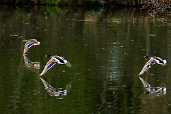 Ducks are amongst the abundant wildlife at Langdale Lakes <br /> <br /> 24th April 2021<br /> <br /> www.pauldaviddrabble.co.uk<br /> All Images Copyright Paul David Drabble - <br /> All rights Reserved - <br /> Moral Rights Asserted -