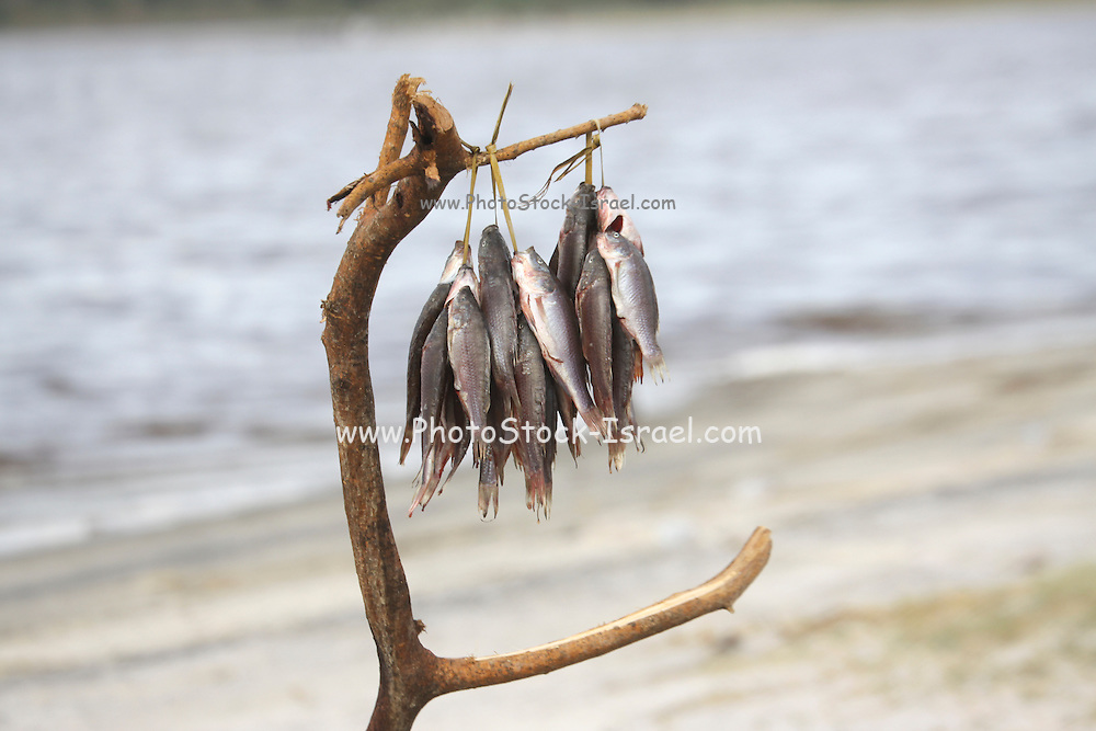 Africa, Tanzania, Lake Eyasi National Park Fishing in the lake The catch of the day hangs on a tree