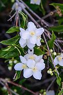 Hydrangeaceae (Hydrangea Family)