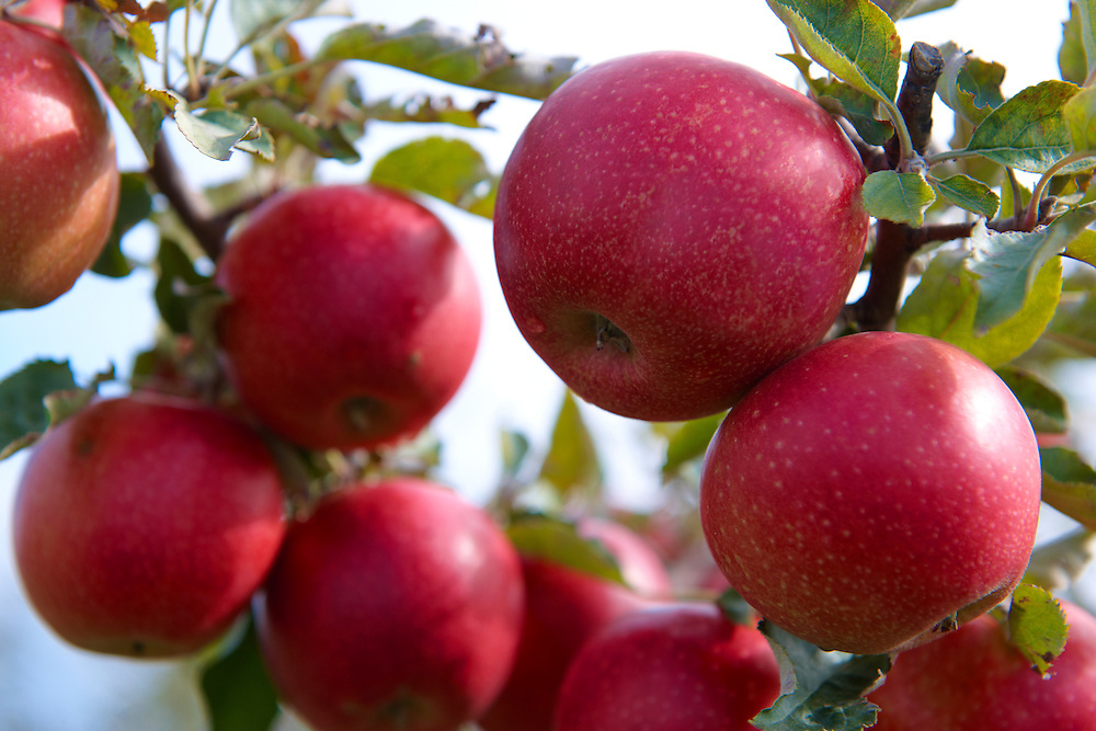 Fresh red apples on an apple tree in an orchard