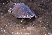 nesting female olive ridley sea turtle, Lepidochelys olivacea, uses one flipper at a time to scoop out sand from egg chamber while digging her nest, Playa Ostional, Costa Rica ( Pacific ) (1 of 2)