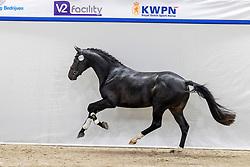 513, Nooitgedacht<br /> KWPN Hengstenkeuring 2021<br /> © Hippo Foto - Dirk Caremans<br />  05/02/2021