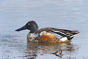 Northern Shovelers feed by dabbling for plant food, often by swinging its bill from side to side and using the bill to strain food from the water. It also eats mollusks and insects in the nesting season.The nest is a shallow depression on the ground, lined with plant material and down, usually close to water.This is a fairly quiet species. The male has a clunking call, whereas the female has a Mallard-like quack.