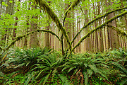 Vine Maple trees reach from the ferns to form the forest understory of a Sitka Spruce forest along the Hoh River in Olympic Peninsula National Park, Washington