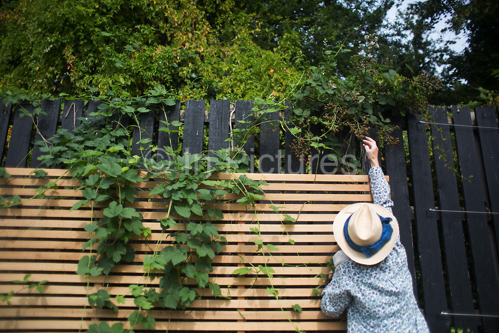 Shelagh Molloy reaches for black berries between the growing hobs 28th July 2016, London, United Kingdom. Shelagh Molloy, a local resident to Brondesbury Park Stations puts in a few hours of work in the newly finished Energy Garden, watering and weeding. The water is collected rain water and the pump is solar panel powered. Energy Gardens is a pan-London community garden project where reclaimed land alongside over ground train stations and track are cultivated by local community groups. Up 50 gardens are projected with the rail network being the connection grid. The project is a collaboration between Repowering London, Groundwork, local community groups, station managers working for Transport For London and Network Rail.