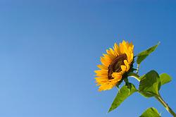 Helianthus annuus / Common Annual Sunflower