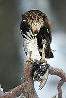 Golden eagle (Aquila chrysaëtos), Flatanger, Norway.
