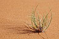 A green plant in desert sand, Merzouga, Morocco.