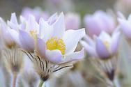 Pelzanemone, Frühlings-Kuhschelle oder Frühlings-Küchenschelle (Pulsatilla vernalis) an einem Frühlingsabend im Juni oberhalb des unterengadiner Dorfes Ftan bei Cna da Naluns auf einer Höhe von 2400 M