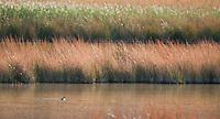 Pied-billed grebe, Podilymbus podiceps, at Saratoga Spring, Death Valley National Park, California