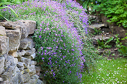Aubretia growing over a wall