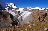 Ibex with glaciers in background around the Gornergrat, above Zermatt, Switzerland