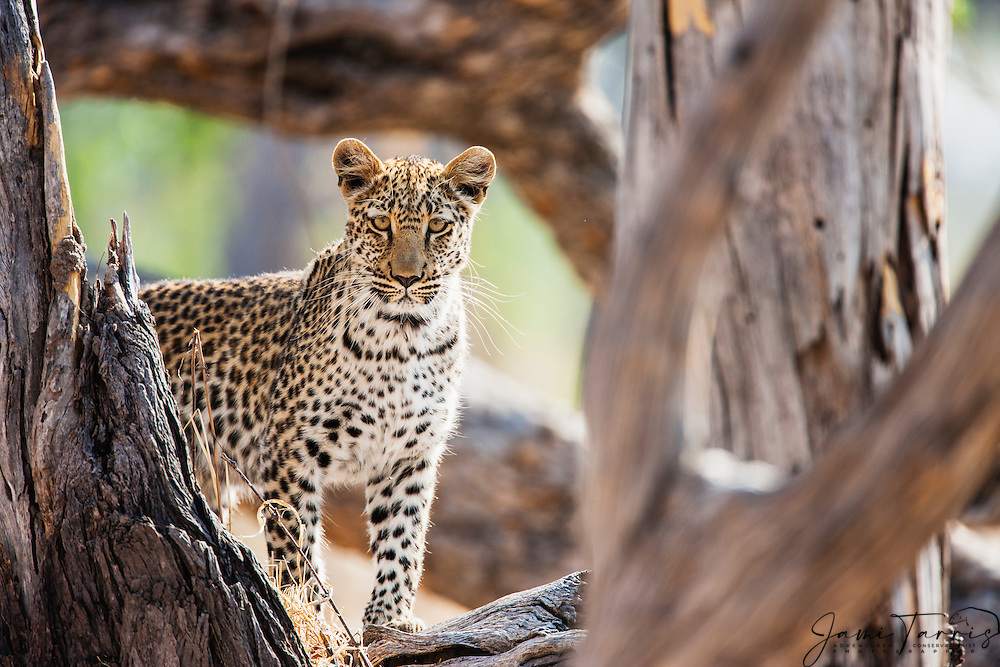 A leopard (Panthera pardus) standing in a tree looking at camera, Moremi Game Reserve, Botswana, Africa