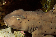 Horn Shark - closeup showing sharp horn on it's back to prevent large predators from swallowing it.(Heterodotus francisci).Catalina Island, California