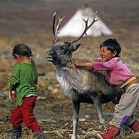 MONGOLIA, Darhad Valley. Tsataan youngsters play with young reindeer in their herding camp in taiga forests of northern Mongolia.