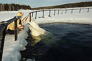 """The sad journey of the Russian beluga Whale's from sea to human captivity<br /> <br /> A team of specialists that every year are issued with licenses to catch dolphins/White Whales from the sea and train them, Nilmoguba, a small village on the north of Russia, near the Polar Circle.<br /> <br /> This whale (pictured )has been caught at sea, it is trained by specialists not to be afraid of humans for about half a year, and after that he will be transferred to live in circus or aquapark / dolphinaruim<br /> <br /> The beluga whale named Petrovich, was caught in late autumn, and four months later he had become accustomed to people and feeding in captivity. <br /> <br /> The Centre informed us (in January 2013) than from autumn 2013 they've got 2 licenses to catch whales, and before catching new whales, this dolphin named Petrovich will have new home in Moscow,  After that they will get two new whales (younger animals are more preferable, because they are easier adapts with people) and train them. Petrovich, who is 12 years old, they live for about 25-30 years, Petrovich adapted to people very easily, and trainers were really surprised with that fact. <br /> <br /> Each dolphin has its own character. Of the hundreds of captured about 1-2 do not surive in captivity and refuse to eat food brought given to them, f they do not adapt, because stressful experiences they die very quickly.<br /> <br /> Despite the fact that in nature, they have no natural enemies (only polar bear could, perhaps, be compared with him by force, but in reality they do not interact well at first,  you have to learn there trust before you have contact with them , <br /> <br /> Maria a worker at the centre says that she was feeding dolphins until they where fall twice a day, and in winter - three times, while the total number of fish per day did not change, ie Each serving has become a little less. <br /> <br /> Petrovic will soon be sent to the Dolphinarium. He will not """"participate in the show,"""" bu"""