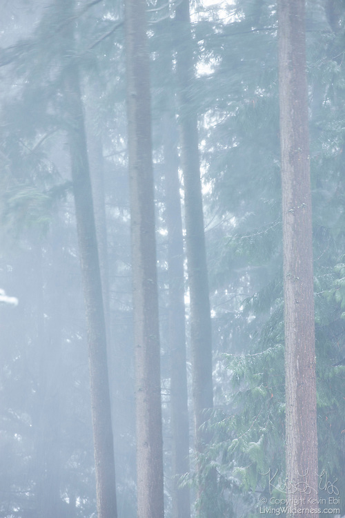 Windblown douglas fir trees bend and twist as snow lightly falls in Snohomish County, Washington.