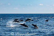 spinner dolphins, either eastern spinner, Stenella longirostris orientalis, or Central American spinner, Stenella, longirostris centroamericana, porpoising at high speed, offshore from southern Costa Rica, Central America ( Eastern Pacific Ocean )