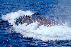 humpback whales, Megaptera novaeangliae, courtship behavior - fighting male, lunging, Hawaii, Pacific Ocean