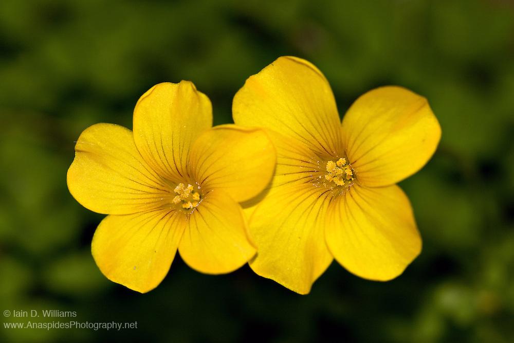 Yellow Oxalis - Tasmania