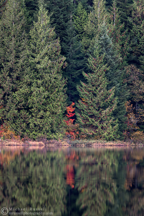 A red Vine Maple (Acer circinatum) tree provides a spot of bright fall foliage colour in the forest.  Photographed at Rolley Lake in Rolley Lake Provincial Park, Mission, British Columbia, Canada.