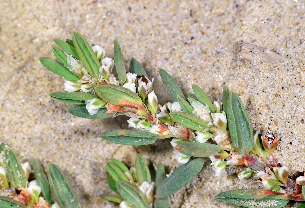 Sea Knotgrass - Polygonum maritimum