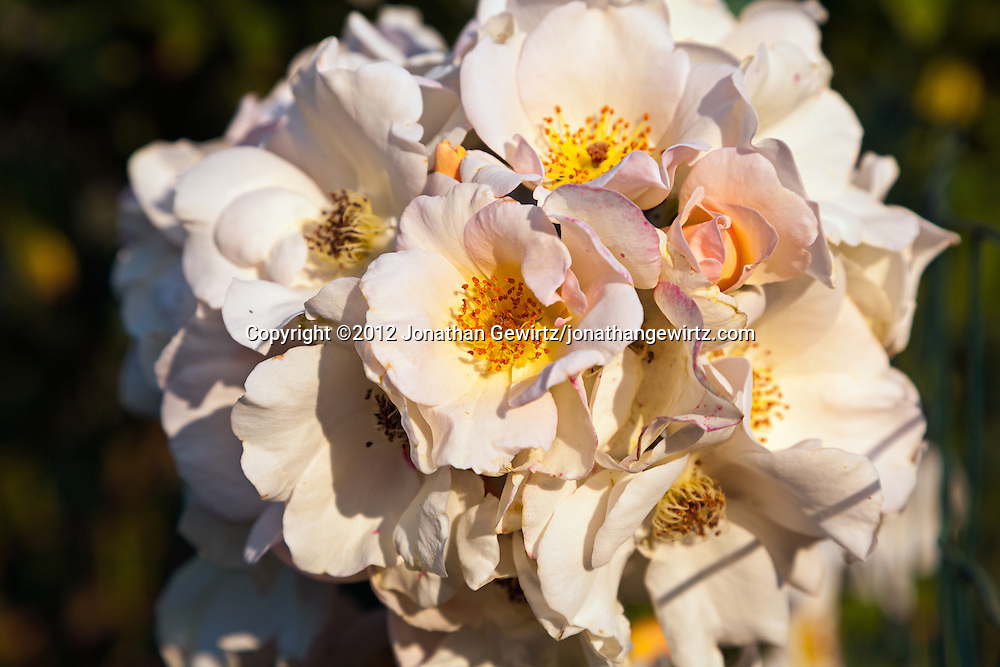 White blossoms in a flower garden. WATERMARKS WILL NOT APPEAR ON PRINTS OR LICENSED IMAGES.