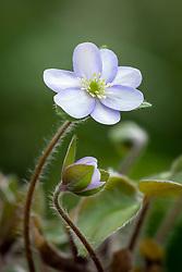 Hepatica x schlyteri 'Ashwood Hybrids' (H.maxima x H. nobilis)