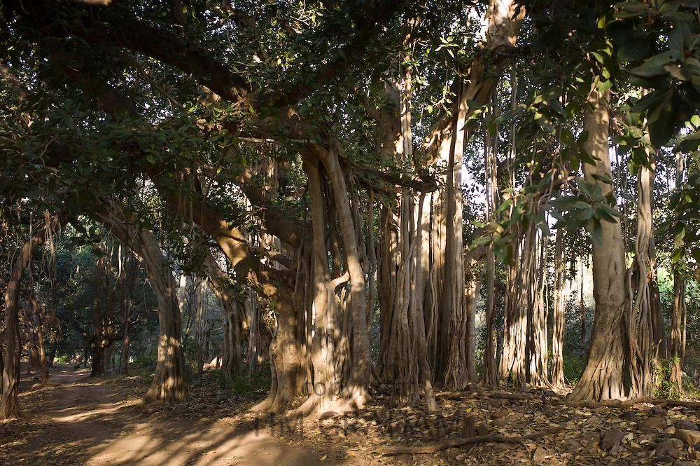 Ancient Banyan Trees in Ranthambhore National Park, Rajasthan, Northern India