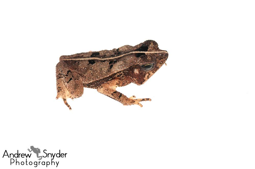 Crested toad, Rhinella martyi, Chenapau, Guyana, March 2014