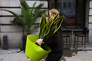 A man from funkyyukka.co.uk delivers a potted plant to a London restaurant and bar. The city delivery arrives in a green pot with strong handles that is clearly taking the weight of this heavy vegetation although we can see the Yukka is still young and not fully developed. Although this plant is destined to occupy a corner of an office or restaurant, the Yucca is a genus of perennial shrubs and trees in the agave family, Agavaceae. Its 40-50 species are notable for their rosettes of evergreen, tough, sword-shaped leaves and large terminal panicles of white or whitish flowers. They are native to the hot and dry (arid) parts of North America, Central America, South America, and the Caribbean