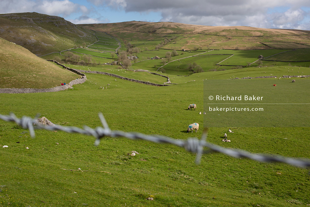 Barbed wire and grazing sheep and spring lambs in the distance, on farmland near Gordale Scar, on 12th April 2017, at Malham, in the Yorkshire Dales, England.