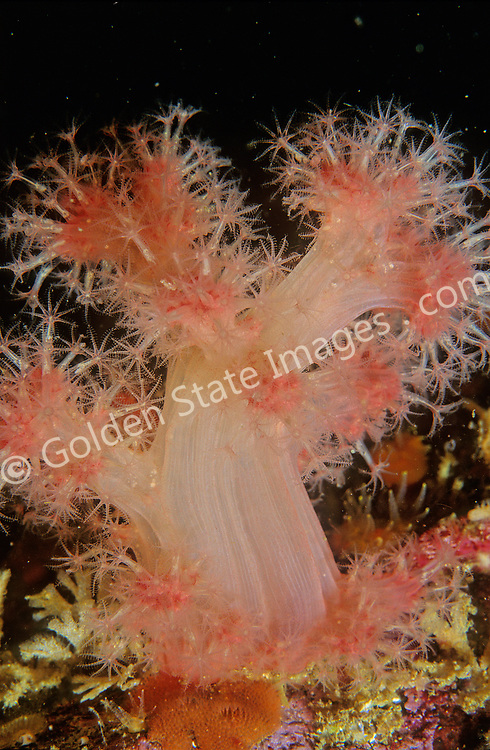 British Columbia<br /> <br /> Species: Gersemia rubiformis