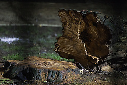 A tree felled in Euston Square Gardens for the HS2 high-speed rail link project is pictured on 6 February 2021 in London, United Kingdom. Environmental activists from HS2 Rebellion have been occupying tunnels beneath the site for the past eleven days in order to try to delay or prevent the felling of the trees.