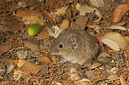 Common Vole - Microtus arvalis
