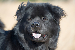large furry black chow dog with his tongue out of his mouth