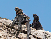 The Galapagos Marine Iguana (Amblyrhynchus cristatus) thrives at Tagus Cove, on Isabela (Albemarle) Island, Ecuador, South America.  Marine Iguanas, the world's only sea-going lizard species, are found nowhere else on earth. Marine Iguanas feed almost exclusively on marine algae, expelling the excess salt from nasal glands while basking in the sun, coating their faces with white. Marine Iguanas live on the rocky shore or sometimes on mangrove beaches or marshes. Most adults are black, some grey, and the young have a lighter colored dorsal stripe. The somber tones allow the species to rapidly absorb the warm rays of the sun to minimize the period of lethargy after emerging from the frigid water, which is cooled by the Humboldt Current. Breeding-season adult males on the southern islands are the most colorful and will acquire reddish and teal-green colors, while Santa Cruz males are brick red and black, and Fernandina males are brick red and dull greenish. The iguanas living on the islands of Fernandina and Isabela (named for the famous rulers of Spain) are the largest found anywhere in the Galápagos. The smallest iguanas are found on Genovesa Island. Fernandina Island was named in honor of King Ferdinand II of Aragon, who sponsored the voyage of Columbus.