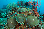 Corallimorph (corallimorpharia)<br /> Cenderawasih Bay<br /> West Papua<br /> Indonesia