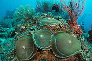Corallimorph (corallimorpharia)<br /> Cenderawasih Bay<br /> West Papua<br /> Indonesia