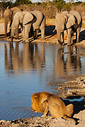 A lion (Panthera leo) sharing a water hole with several elephants in Chobe National Park, Savuti,Botswana,Africa