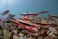 Cardinal Shiners<br /> <br /> Isaac Szabo/Engbretson Underwater Photography