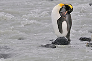 Glacier river runs through King penguin colony, one penguin sleeps in the middle of the river on a rock.