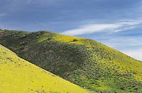 Temblor Range hills carpeted with Hillside Daisy (Monolopia sp.) Carrizo Plains National Monument