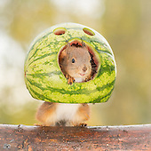Photographer Pictures Squirrel With water melon through his Kitchen Window