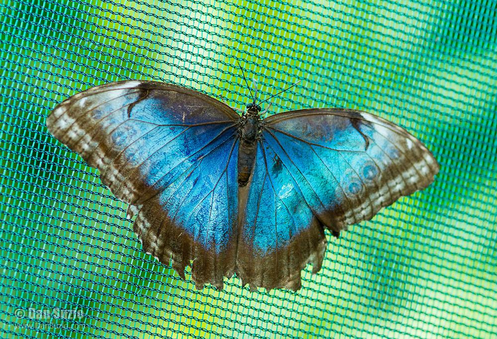 Blue Morpho butterfly, Morpho sp, in the butterfly garden (mariposario) at Restaurante Selva Tropical, Guapiles, Costa Rica