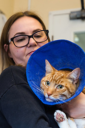 """""""Angus"""" the ginger tom cat who was discovered impaled on three steel fence spikes in North London continues to recover at the RSPCA's Harmsworth Animal Hospital in north London, following lifesaving surgery to remove the 20mm thick spikes from his body. PICTURED: Emma Yelland, 45. of RSPCA  gives 'Angus' a cuddle in the ward where he is being treated. London, March 14 2018."""