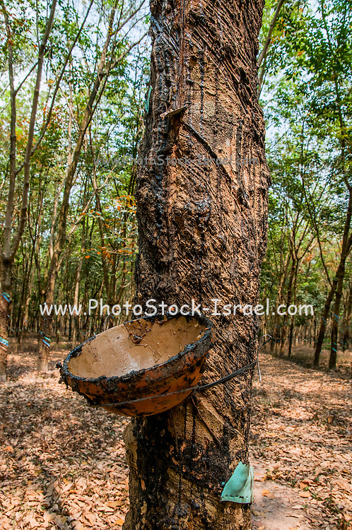 Tapping sap from Rubber trees in a Plantation, Central Highlands Vietnam