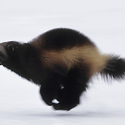 Wolverine (Gulo gulo) adult running across a snowy clearing in the Rocky Mountains of Montana. Captive Animal