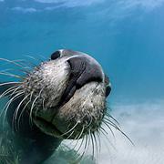 Playful juvenile Australian sea lion (Neophoca cinerea) greeting me in shallow water at Carnac Island in Western Australia
